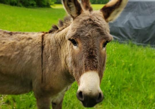 Charlie Donkey